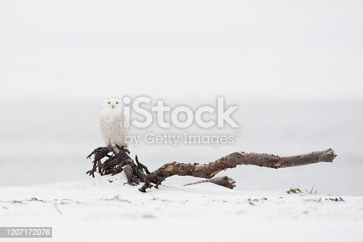 A Snowy Owl perched on a large piece of driftwood in soft overcast light in a light snow on a winter day.