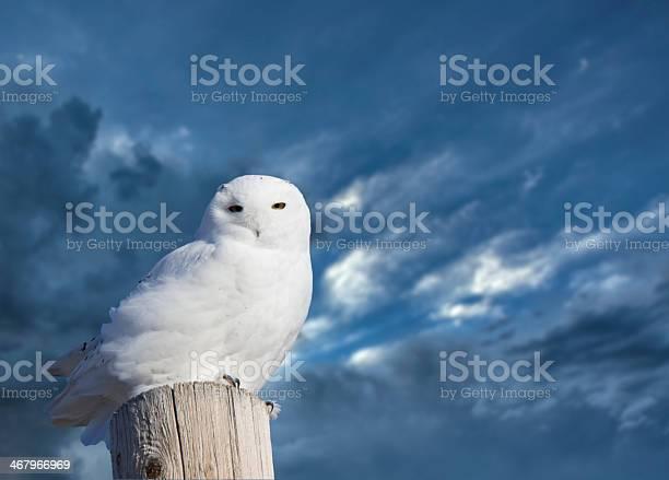 Snowy owl perched picture id467966969?b=1&k=6&m=467966969&s=612x612&h=iipzan2rmzkks0wlzseri8hvrwanryu9tcw17 whdn8=