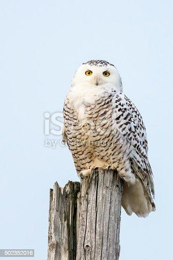Snowy Owl perching, Bubo scandiacus. Bird in Canada.
