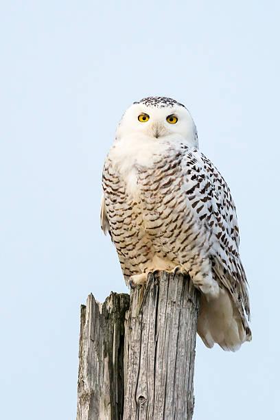 Snowy owl perching bubo scandiacus bird in canada picture id502352016?b=1&k=6&m=502352016&s=612x612&w=0&h=3bdzezyuco1 t16gbq0wzjiyqosy31wphgu2gdljf7w=