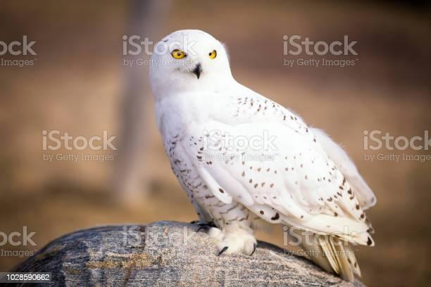 Snowy owl picture id1028590662?b=1&k=6&m=1028590662&s=612x612&h=5n6fz6p46gps63ypbtlcu llaug3iqklmnztbtgniqe=
