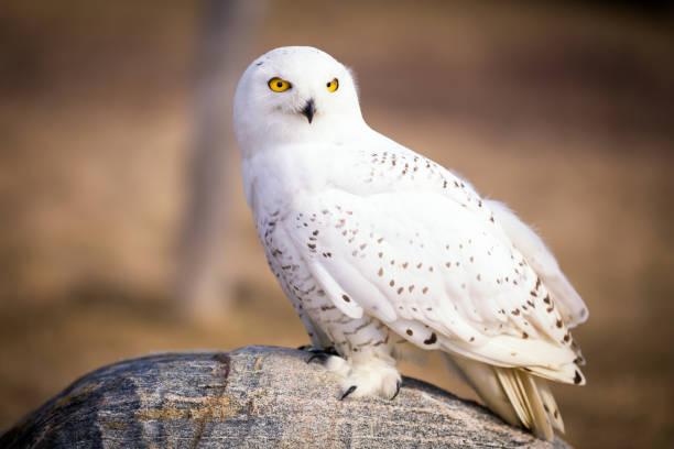 Snowy owl picture id1028590662?b=1&k=6&m=1028590662&s=612x612&w=0&h=qa8duc286yiz05xhmvmox yqu7mi4oujyq4jfgk3smc=