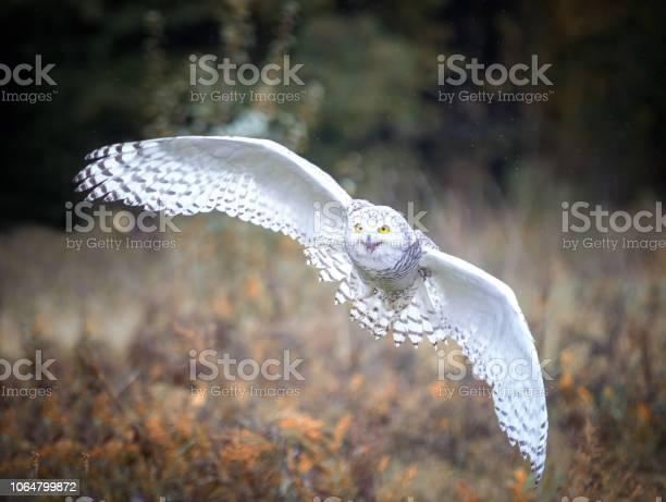 Snowy owl picture id1064799872?b=1&k=6&m=1064799872&s=612x612&h=xu6oj0ryrwt7hmc03mq7ygnlf27ucf9ugg72nyhbvba=