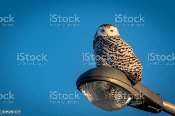 Snowy owl picture id1126891197?b=1&k=6&m=1126891197&s=612x612&h=evg vghpagr6mtz89j1qktz1qvfxlzifys7ga2ppr54=