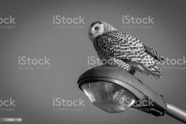 Snowy owl picture id1126891199?b=1&k=6&m=1126891199&s=612x612&h=yej5bwegs7izxavmk1ybbgm38tq hsj0vlnjrneheua=