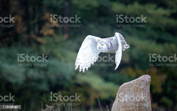 Snowy owl picture id1134384671?b=1&k=6&m=1134384671&s=612x612&h=zgfnqxql9clquqpbvvr mw6p91b4gkkevcovrwhzgo0=