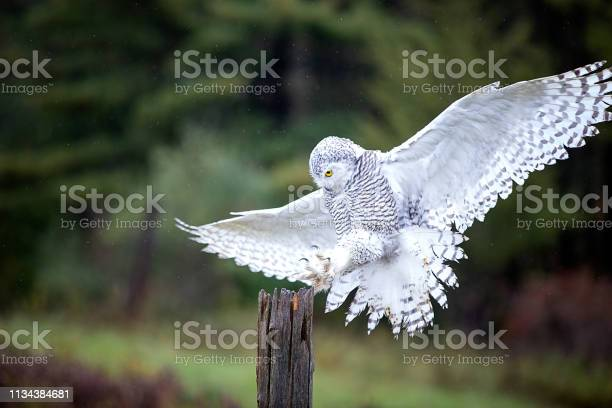 Snowy owl picture id1134384681?b=1&k=6&m=1134384681&s=612x612&h=cjpjppywy4vusikf7jmtgwjeuqo9ggatf9jvxz fszy=