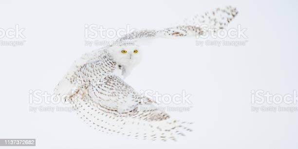 Snowy owl picture id1137372682?b=1&k=6&m=1137372682&s=612x612&h=awj0sjjjtifoldzfx b0sj8eq1iwpln7vetmkkviwyy=