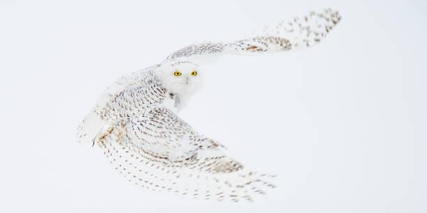 Snowy owl picture id1137372682?b=1&k=6&m=1137372682&s=612x612&w=0&h=zpxl4ef401ny qbbjuo0agxcltetn kmpepbiz7gvxg=