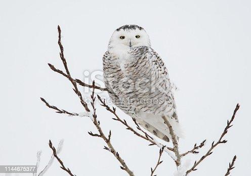 Snowy owl in the wild