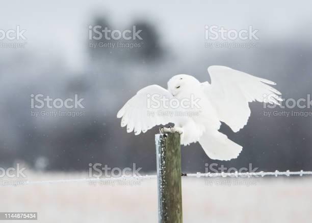 Snowy owl picture id1144675434?b=1&k=6&m=1144675434&s=612x612&h=itqrjmm8bespeb8py4lwtrqjorwowpzt b3vkmo77iq=
