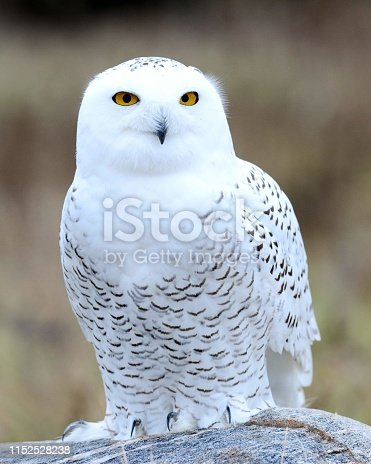 Snowy owl at the Canadian Raptor Conservancy in Vittoria Ontario Canada