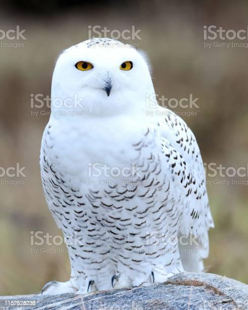 Snowy owl picture id1152528238?b=1&k=6&m=1152528238&s=612x612&h=gw6p djj7wxrc vy2c1kk4tepkjfwpvmy uyph8pm40=