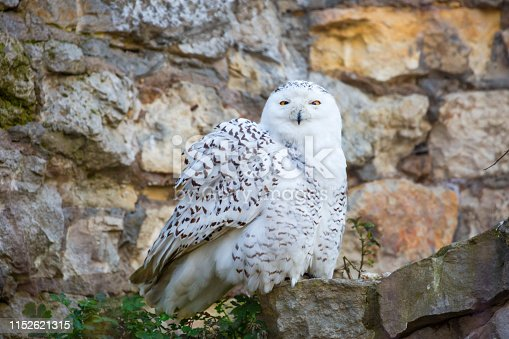 The Snowy Owl well-adapted to the illumination features of the tundra in winter for several months lasts the night and in the summer day. Breeds circularly on the Islands of the Arctic ocean and in the tundra.