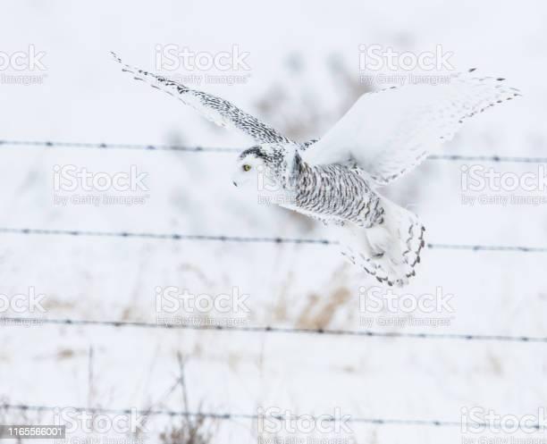 Snowy owl picture id1165566001?b=1&k=6&m=1165566001&s=612x612&h=h46dzetibqmud02sjg90vhn1uizesqipnxnncatlkzk=