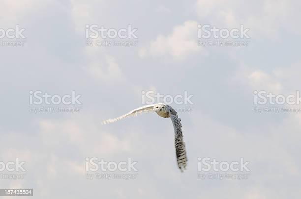 Snowy owl picture id157435504?b=1&k=6&m=157435504&s=612x612&h=dl2kk netjg3grqzoii2 cinkhbk4ghxgia4f7ipl5o=