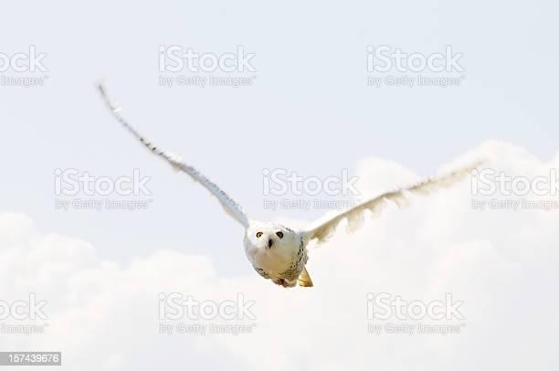 Snowy owl picture id157439676?b=1&k=6&m=157439676&s=612x612&h=vgjdfkr7i3lqema7z0b7r2jgylmnlyptizn7agpgscc=
