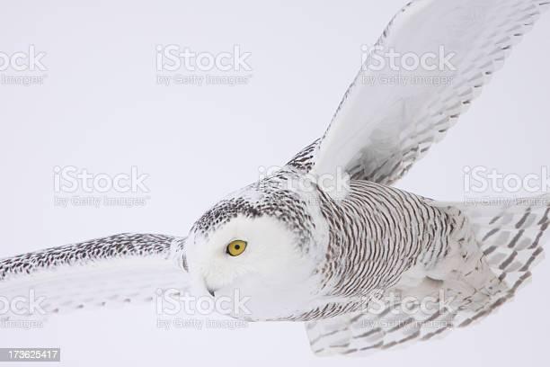 Snowy owl picture id173625417?b=1&k=6&m=173625417&s=612x612&h=qpnunsa9jznm7vrw8xx7hkagyxwxzs 12isk5opxob0=