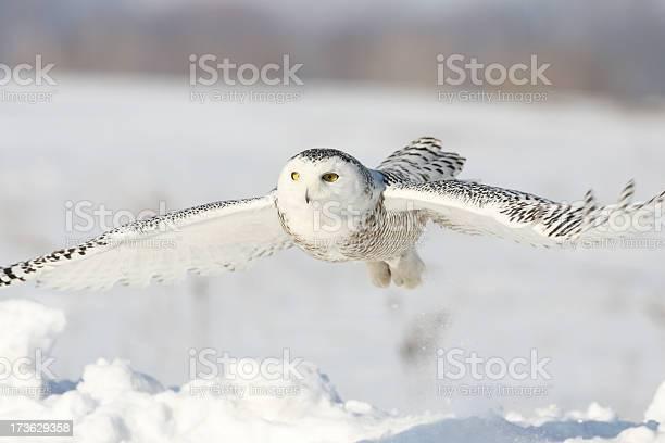 Snowy owl picture id173629358?b=1&k=6&m=173629358&s=612x612&h=dnowiy 3et5p9zbqe y6ndciuhhzstobaxnxnuwj55w=