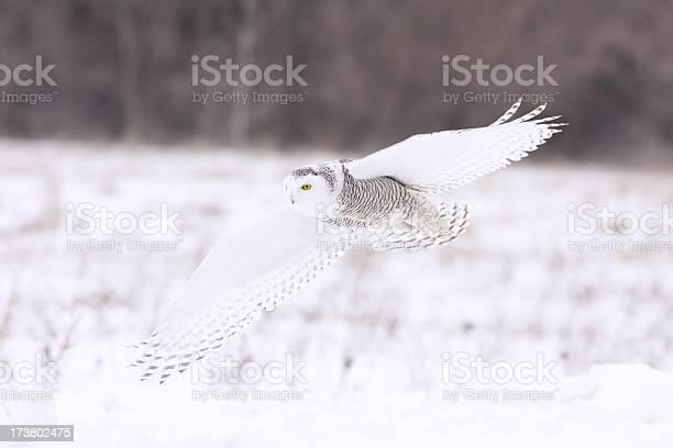 Snowy owl picture id173802475?b=1&k=6&m=173802475&s=612x612&h=lasbwrwiatval9eaxr4slj hltcdb0nye1 orlpwe o=