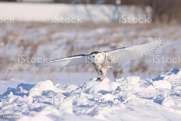 Snowy owl picture id174667510?b=1&k=6&m=174667510&s=612x612&h=qtizrxrnvsilzfmkpzqf9q oqzihjitzcsnsdmbxwju=