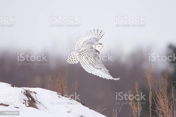 Snowy owl picture id176062434?b=1&k=6&m=176062434&s=612x612&h=obc ebj0u  nffznhi8keshvaymujgehfquq2nrgrf0=