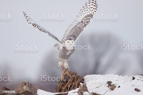 Snowy owl picture id176063258?b=1&k=6&m=176063258&s=612x612&h=nuwm0d9hv thn8kd4we1vzb6z6 up5iwb6tccag4dra=