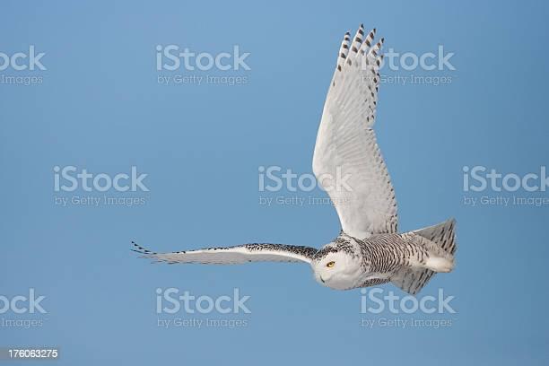 Snowy owl picture id176063275?b=1&k=6&m=176063275&s=612x612&h=fgkaexwhqtdf5vu3yw4011q5icidxj9w lgqv27mzh8=