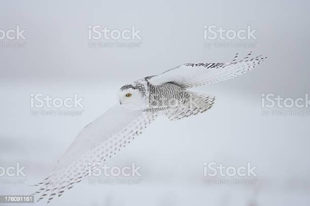 Snowy owl picture id176091161?b=1&k=6&m=176091161&s=612x612&h=q7hsrstoyvmrztb1uym2zcvditscgjljl8c hcmkzuw=