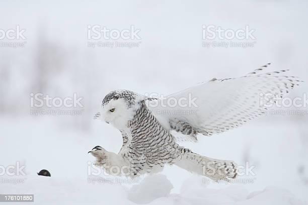 Snowy owl picture id176101880?b=1&k=6&m=176101880&s=612x612&h=y9khk9p1hhgswnhse8xxpkx od5ju eywg9gc1a xtw=