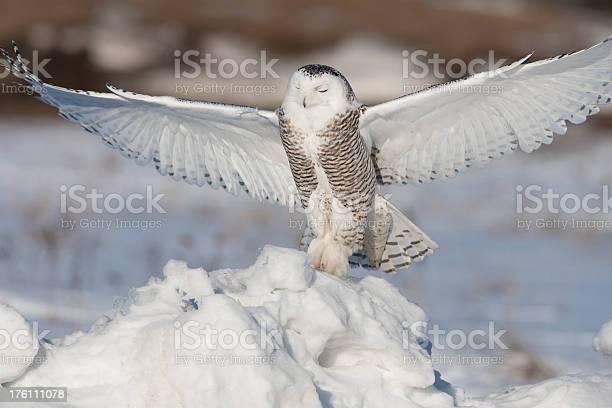 Snowy owl picture id176111078?b=1&k=6&m=176111078&s=612x612&h=wguqpfthq6hkjkt1l99gbomrfc3gejy0i 9uvi8 jjw=