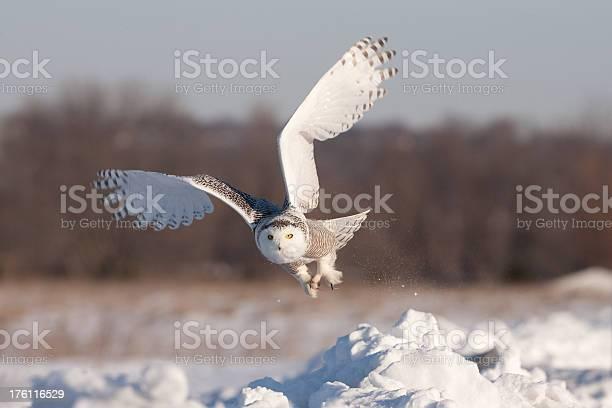 Snowy owl picture id176116529?b=1&k=6&m=176116529&s=612x612&h=gqddnaoqverkkdnc9luuib4hxfanlnwojmleeuqxttk=