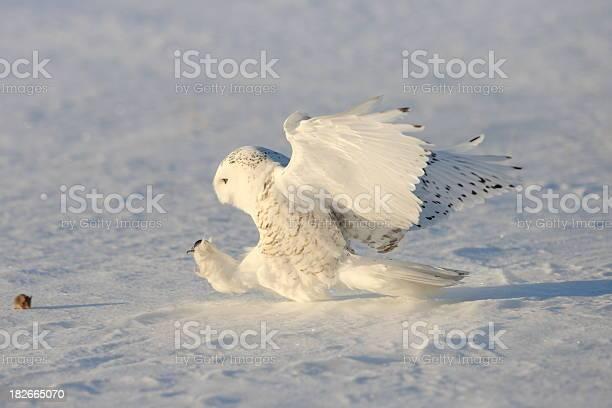 Snowy owl picture id182665070?b=1&k=6&m=182665070&s=612x612&h=0n1pyuzp75hjoxkpcfqddkak4vxfsxdg9jn6hqfhsq8=