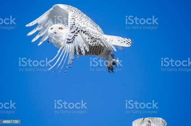 Snowy owl picture id469517001?b=1&k=6&m=469517001&s=612x612&h=x6rbphkfqpyiurbgkqwry8src1t 4ug8ukh qms0tki=