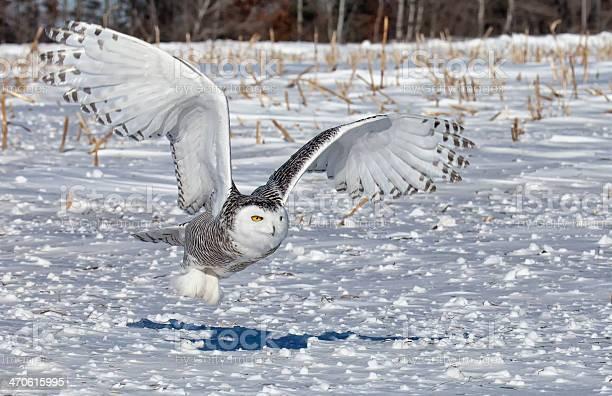 Snowy owl picture id470615995?b=1&k=6&m=470615995&s=612x612&h=x1gw6yk4qfwusi6nyh4 8hio4w7tife0ho31hw8gal8=