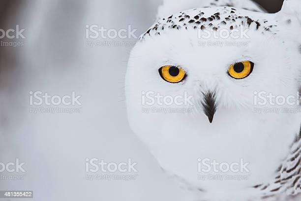Snowy owl picture id481355422?b=1&k=6&m=481355422&s=612x612&h=1dkl 7nby37tggwj1ujsmvtqqtml5ec9w 6g1vbxm w=