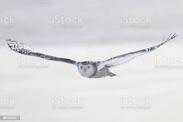 Snowy owl picture id481505671?b=1&k=6&m=481505671&s=612x612&h=ef8kng3c1mbwz 6  u2fggdrla8vgvkc9 myqfkhvys=