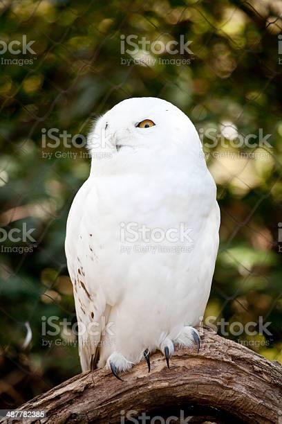 Snowy owl picture id487782385?b=1&k=6&m=487782385&s=612x612&h=pfpnhzl5pzwyyiao44rls6lhsnhzjf1f2x69kzai5xa=