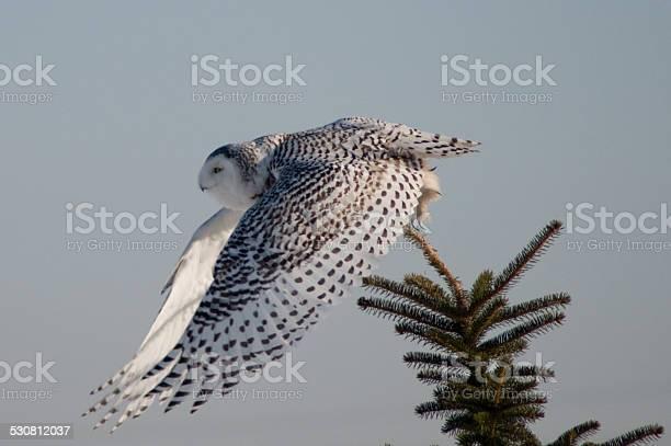Snowy owl picture id530812037?b=1&k=6&m=530812037&s=612x612&h=h4n1dtyqfvas jatxbqy2y3rx5xa ijlfsehm0o5mqc=