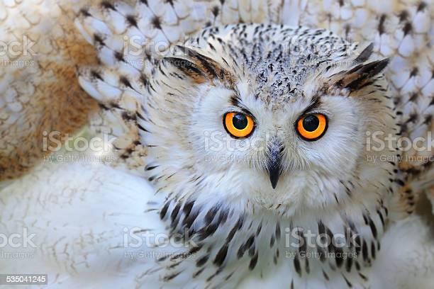 Snowy owl picture id535041245?b=1&k=6&m=535041245&s=612x612&h=mkmqcsw9bcbul4lcuyra8nbu0wixle42nlr9g3ufl8g=