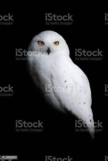 Snowy owl picture id612629052?b=1&k=6&m=612629052&s=612x612&h=jiuvkpdytidxu6rmicwh6ajd0ibbvjygkckikdswldq=