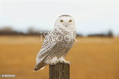 snowy owl sitting on a fence post in the winter