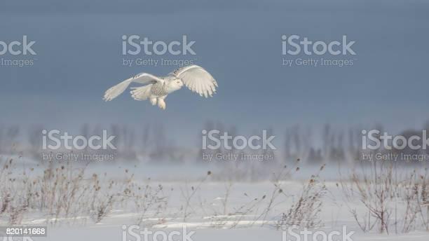 Snowy owl picture id820141668?b=1&k=6&m=820141668&s=612x612&h=rgsjurlbygem6tm6qfhcxaoecpzl4cuzekiovwzs9tk=