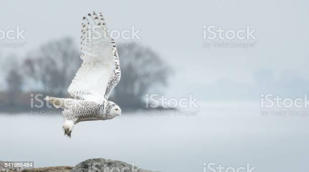 Snowy owl picture id841965484?b=1&k=6&m=841965484&s=612x612&h=befpdid3fmkkpcuhjtidepdcsl8nqmtkmmeehd3yoim=