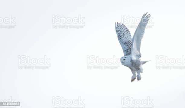 Snowy owl picture id841965554?b=1&k=6&m=841965554&s=612x612&h=d50ffpjvlq0m5d6sn7kt8cxk8l2f16l4kvbqbg1otbc=