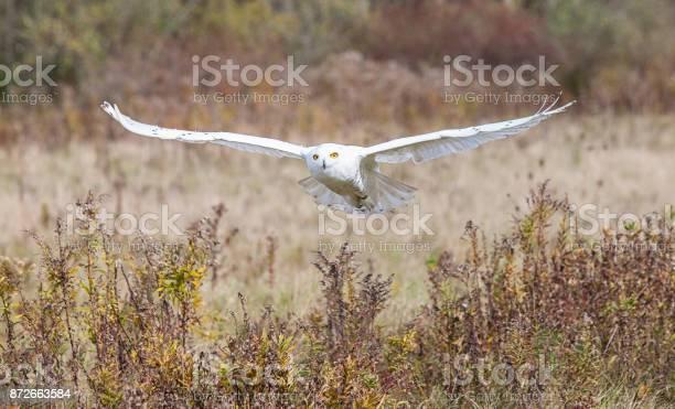Snowy owl picture id872663584?b=1&k=6&m=872663584&s=612x612&h= gil5 keh30wgn a94bjimy0vusejbcn36eyrcudzlk=