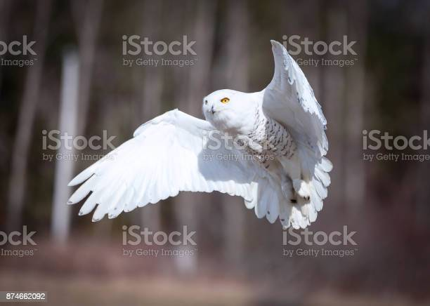 Snowy owl picture id874662092?b=1&k=6&m=874662092&s=612x612&h=0 6gvryhwrud0iu8 16wcwndigzdkbkmn66mjgkiw8m=
