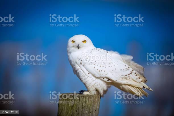 Snowy owl picture id874662132?b=1&k=6&m=874662132&s=612x612&h=sy6p ug v5grvlgsdxliswmnt33yiiegmeufgjzlk70=