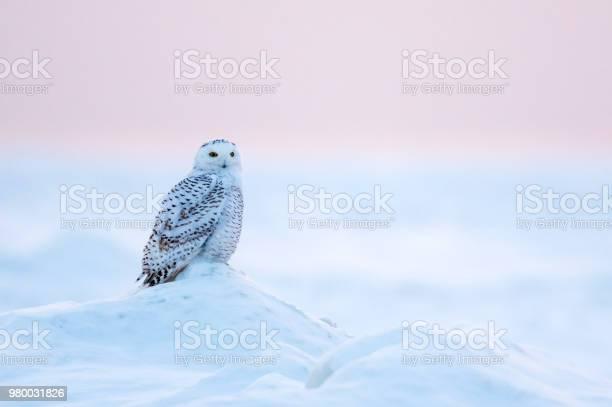 Snowy owl picture id980031826?b=1&k=6&m=980031826&s=612x612&h=awfqtrnj3uswmr5l2sufp5jtduydppe zvha70wciw4=