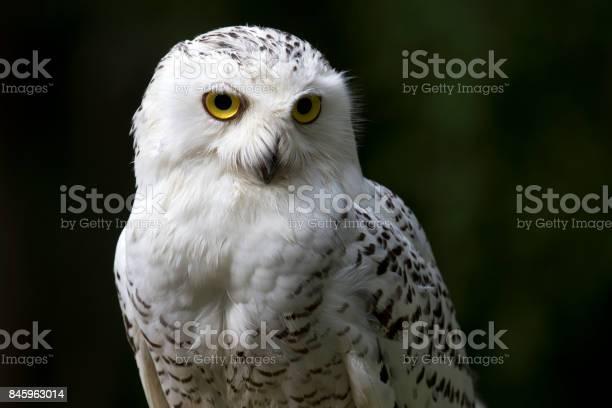 Snowy owl portrait picture id845963014?b=1&k=6&m=845963014&s=612x612&h=54aojoblyl2gr23mbfugzdx0guzd3kfo6m9iwfsblty=